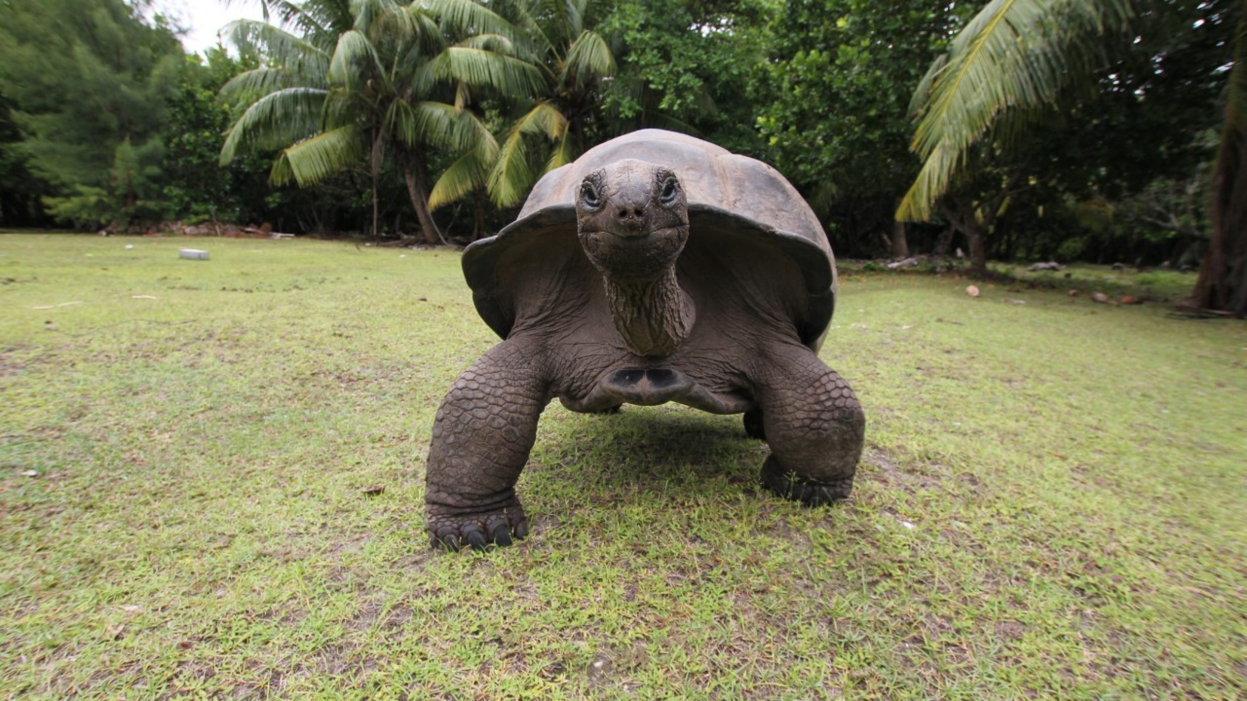 The oldest reptiles have hardly any natural predators due to their sturdy shell and they are very adaptable, even surviving the ice age. One Aldabra giant tortoise even lived to a ripe old 256.